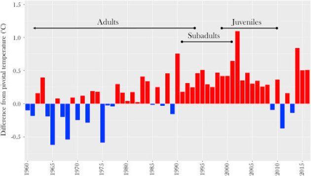 À cause du réchauffement climatique, ces bébés tortues australiennes sont à 99% des
