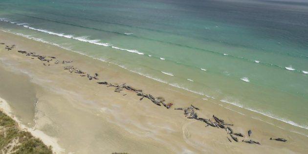 Les 150 cétacés ont été retrouvés échoués ce 26 novembre sur une plage reculée de l'île Stewart, en