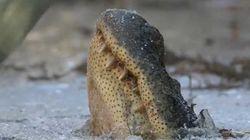 La technique de survie des alligators lorsqu'il gèle est très au
