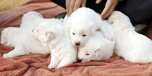 Les chiens offerts par la Corée du Nord ont donné naissance à une portée de six chiots le 9 novembre