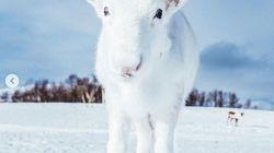 Les photographes animaliers vont être jaloux de cette rencontre avec un petit renne