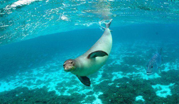 Un phoque moine hawaiien en quête de sa prochaine