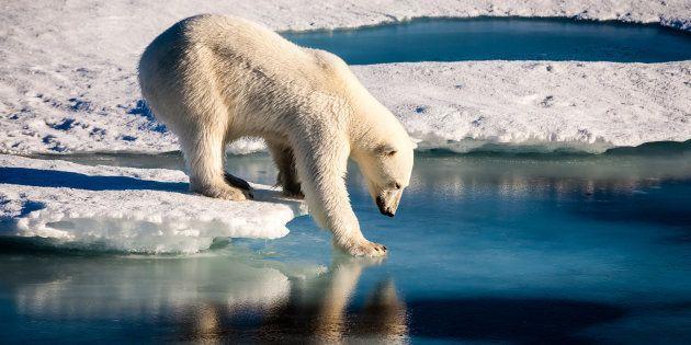 Un ours polaire sur