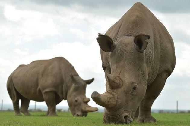 Les deux dernières représentantes de l'espèce des rhinocéros blancs du