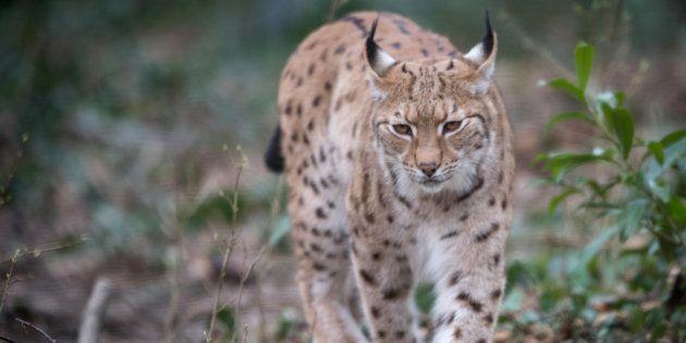 Parmi les espèces menacées de disparition en France: des mammifères, comme le vison d'Europe, le lapin...
