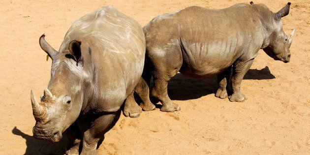 Des embryons de rhinos blancs hybrides, première étape d'un plan fou pour sauver