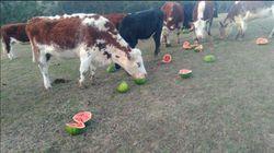 Les vaches de cet éleveur australien ont un régime qui fait
