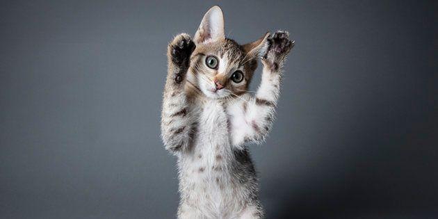 Et si la solution contre les allergies aux poils de chat passait par des matous OGM