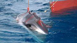 L'Islande arrête de chasser cette baleine car ce n'est plus