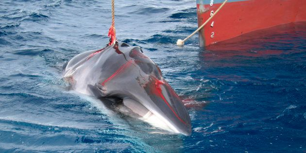 L'Islande arrête de chasser cette baleine car ce n'est plus rentable (ici, en 2018, unebaleinede Minke...