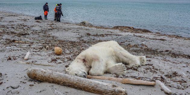 Un ours polaire a attaqué et blessé un employé de croisière qui accompagnait des touristes à Svalbard, un archipel entre la Norvège continentale et le pôle Nord, avant d'être abattu par un autre employé, ce 28 juillet