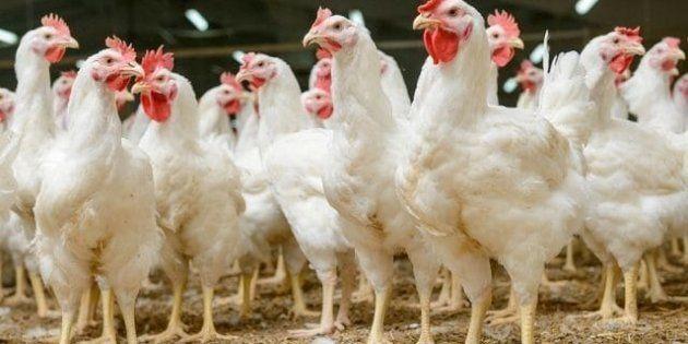 Et si l'anthropocène, l'ère de l'Homme, était définie par les poulets