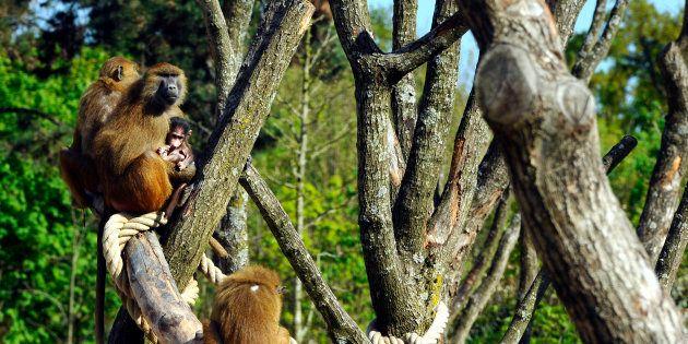 Les trois babouins du zoo de Vincennes retrouvés, le parc rouvre ses