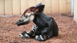 Un bébé okapi est né au Zoo de