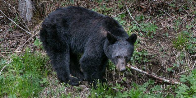 Un ours noir en Caroline du Nord aux Etats-Unis le 11 mai 2018 (photo