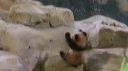 Plus de peur que de mal pour le bébé panda du zoo de