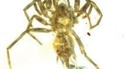 Il y a 100 millions d'années se promenaient des araignées à
