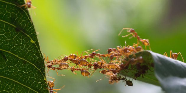 Face à la résistance aux antibiotiques, certaines fourmis seraient d'une aide