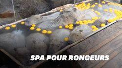 Au Japon, ces gros rongeurs sont chouchoutés dans un bain au