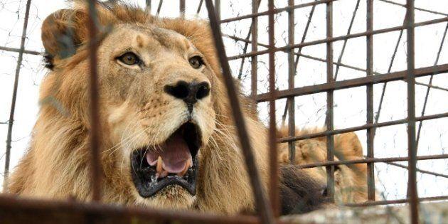 Le lion a été abattu pour pouvoir récupérer le corps de la jeune femme (photo