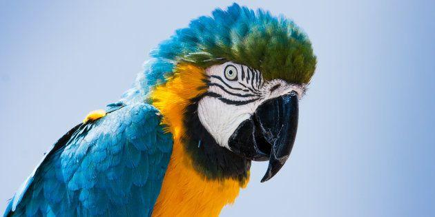 Les perroquets rougissent-ils comme les humains quand ils ressentent des émotions