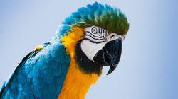 Les perroquets rougissent-ils comme les humains en cas d'émotions