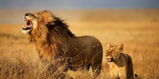 Image prétexte de lions dans la Savane, en Afrique de