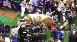 Ce taureau a flanqué une grosse frayeur à la mascotte de l'équipe