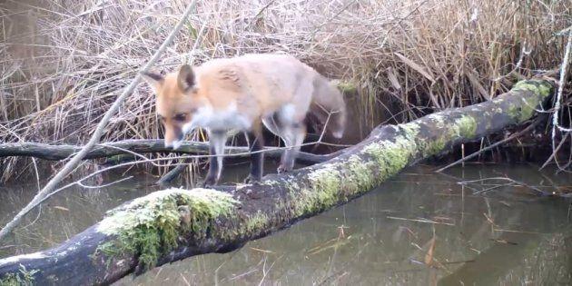 Cette vidéo, tournée en France en Champagne-Ardenne, prouve que les animaux n'ont pas disparu dans les...