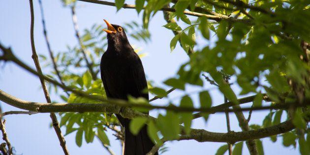 Le Conseil d'État valide la chasse à la glu des oiseaux, les défenseurs des animaux scandalisé