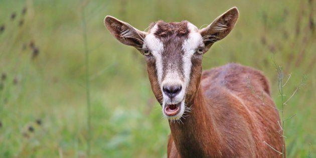 Les chèvres peuvent repérer et préfèrent les visages