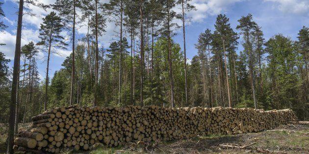 Bialowieza: La Pologne accusée d'avoir détérioré l'une des dernières forêts primaires
