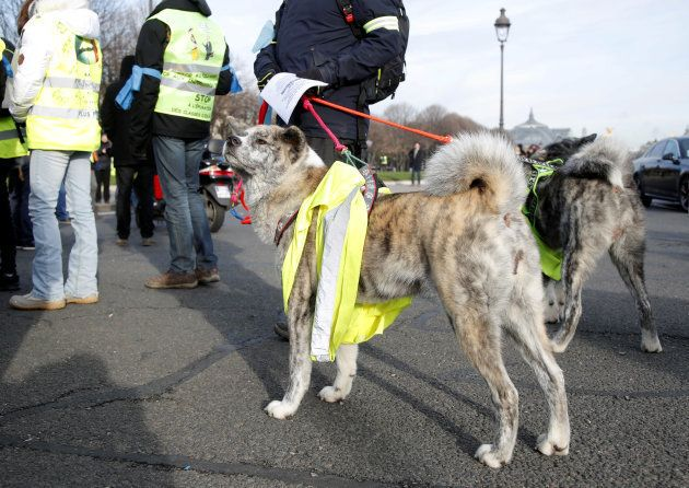 Dogs wearing yellow vests are seen in a demonstration by the