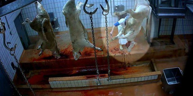 Moutons mal étourdis et agneau était écartelé vivant: procès de la maltraitance animale à l'abattoir...