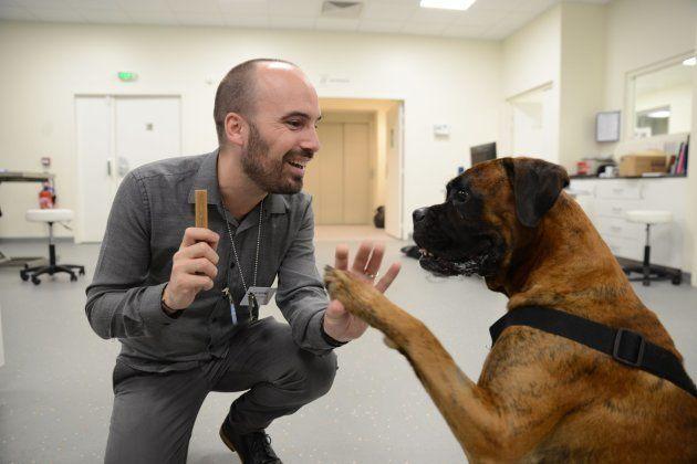 Guizmo, un adorable et gourmand Boxer, lors d'une séance de jeu avant sa séance de chimiothérapie.