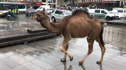 À Paris, des chameaux et des zèbres place de la République pour s'opposer aux