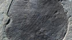 Le Dickinsonia, le plus ancien animal sur Terre, était ovale et