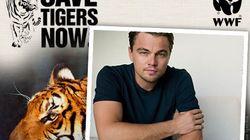 Les Tigres du Bengale ont quasi-doublé au Nepal (et DiCaprio n'y est pas pour