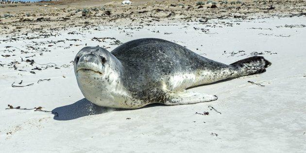 Les selles du léopard de mer abritaient une clé USB exploitable (photo d'un léopard de mer dans les îles