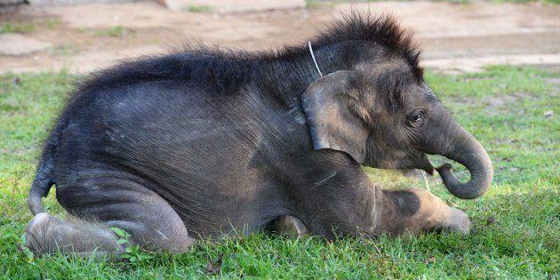 Au Vietnam, les poils d'éléphants sont arrachés, transformés en bijoux porte-bonheur et