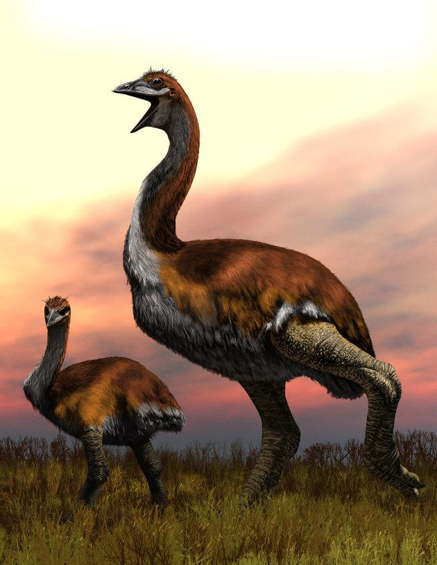 Le Titan de Vorombe, plus gros oiseau jamais