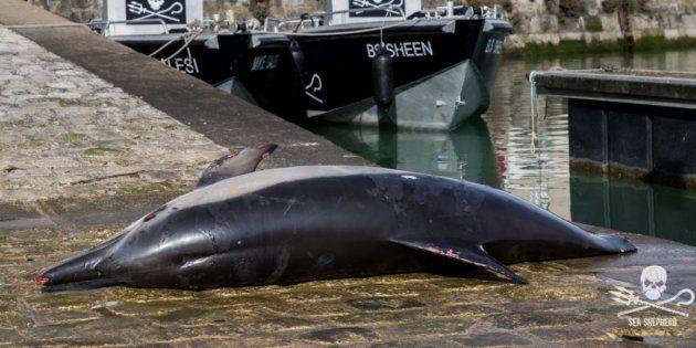 Ce cadavre de dauphin s'est retrouvé sur le port de La Rochelle pour la bonne