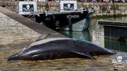 Ce dauphin mort a été déposé sur le port de La Rochelle pour la bonne