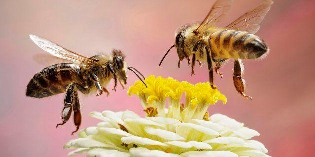 En plus des abeilles, 41% des espèces d'insectes sont en voie de disparition, un chiffre deux fois plus...