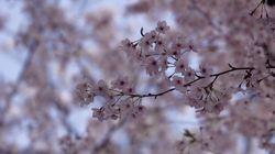 Au Japon, la date des cerisiers en fleurs n'est pas prise à la