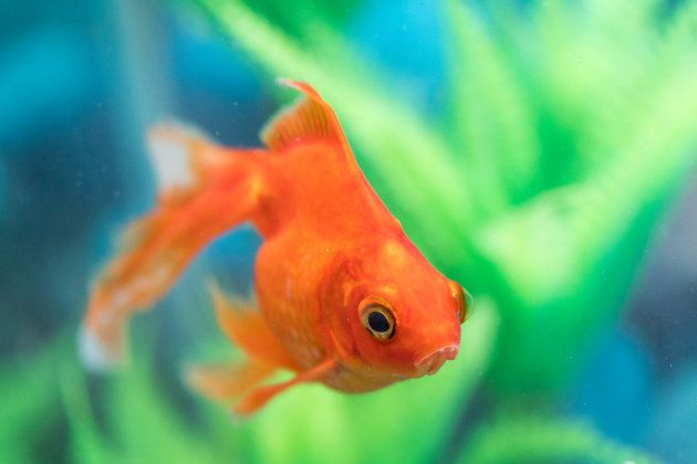 The goldfish (Carassius auratus) is a freshwater fish. It is one of the most commonly kept aquarium fish.