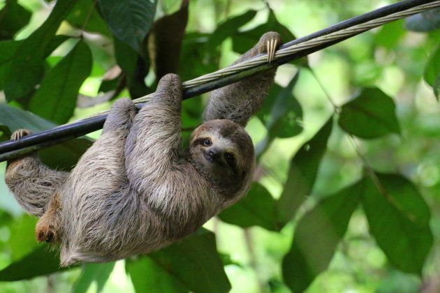 Young Sloth hanging on a cable with smiling expression, Costa Rica