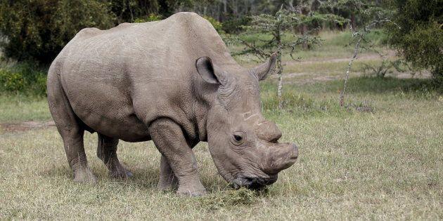 Le dernier mâle rhinocéros blanc du Nord est