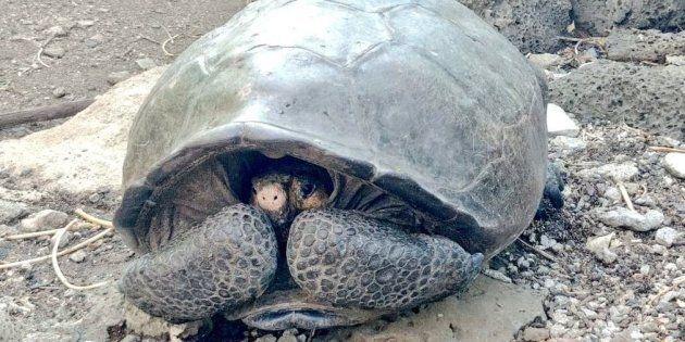Une tortue géante de l'espèce des Chelonoidis Phantasticus a été retrouvée sur une île des