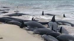 135 dauphins-pilotes meurent échoués sur une plage en